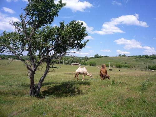 "Верблюды. Сафари-парк ""Кудыкина гора"""