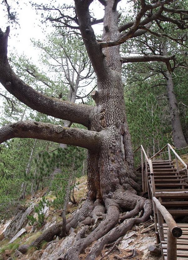 Самое древнее дерево в Болгарии – белая ель Байкушева мура