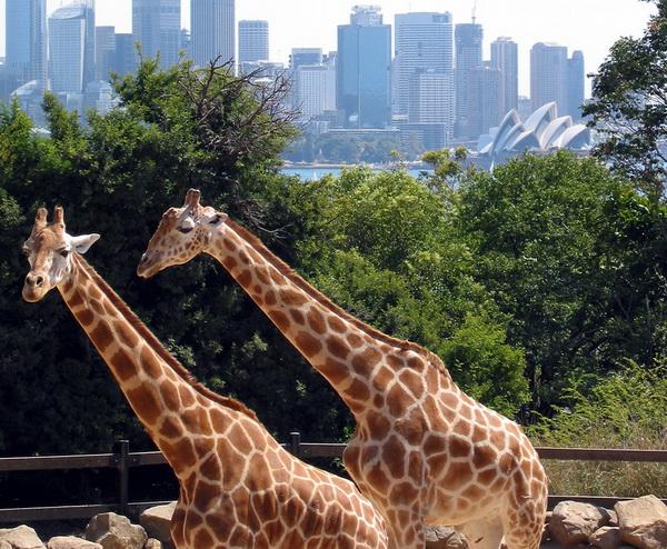 Поездка с детьми в Австралию. Сиднейский зоопарк Таронга