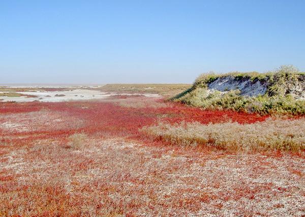 Растения солянки на озере Эльтон