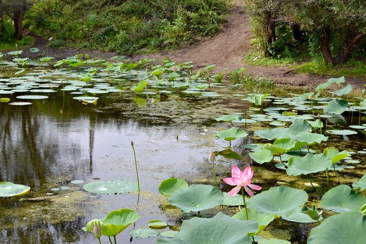 Озеро Лотосов в поселке Красный буксир Волгоградская область