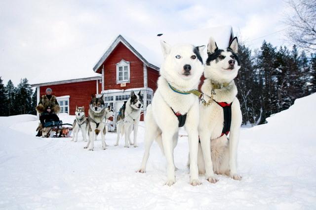 Катание на собачьих упряжках в Лапландии