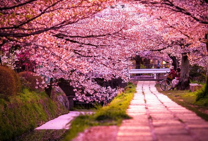 Япония. Цветение сакуры. Отдых с детьми