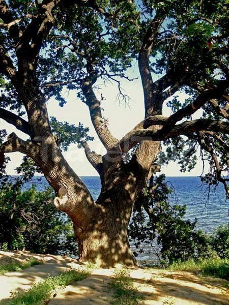 400-летний дуб в Дубовке